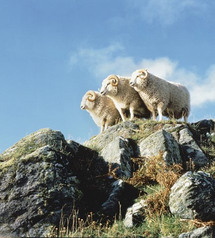 Three Shetland Sheep