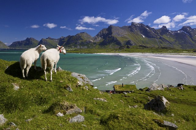 Two Sheep overlooking a Norway Fiord